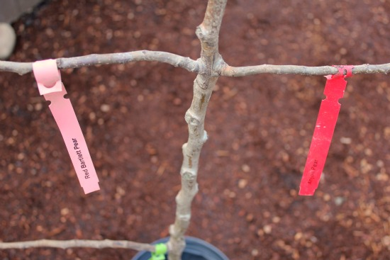 espalier tree branches