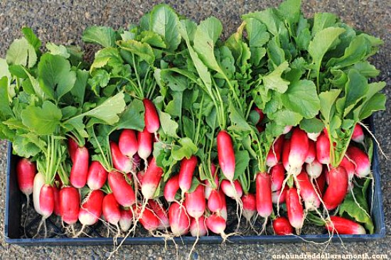 french breakfast radish
