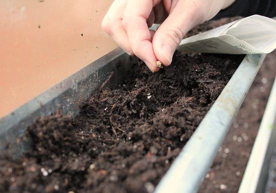 gardening in gutters swiss chard