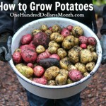 How to Grow Seed Potatoes {Start to Finish}
