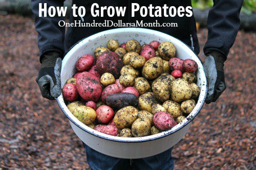 How To Grow Seed Potatoes  Start To Finish