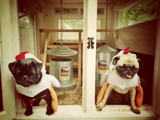 Mavis Mail – Aubre From Louisiana Sends in Her Pug and Hen Photos