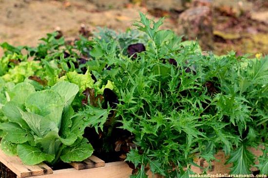pallet garden lettuce