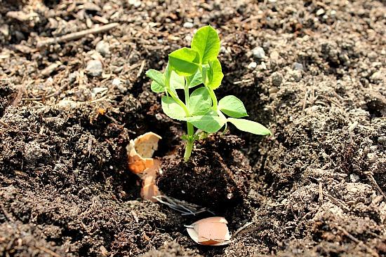 planting peas in eggshells