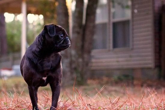 pug dog black fur