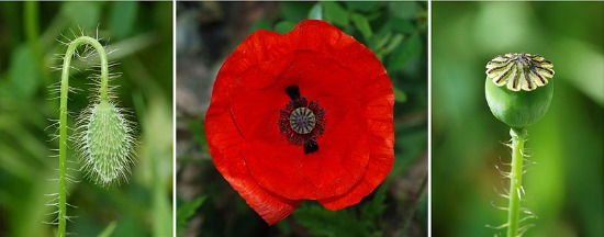 red poppy picture poppies