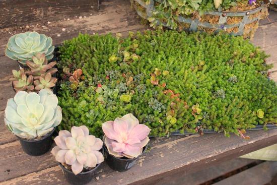 sedum plants and succulents