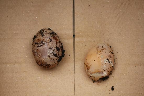Raising Backyard Chickens – Egg Bound Hen