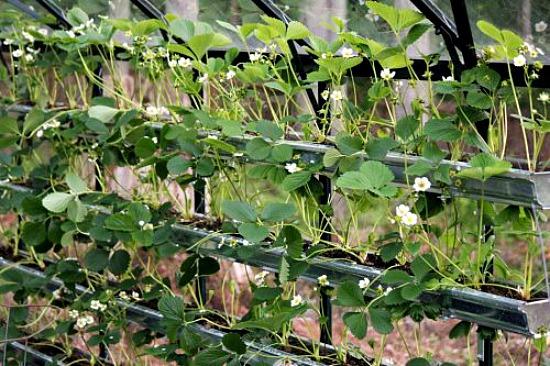 Mavis Garden Blog Transplanting Spring Bulbs And