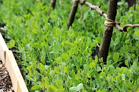 How to Grow Peas {Start to Finish}