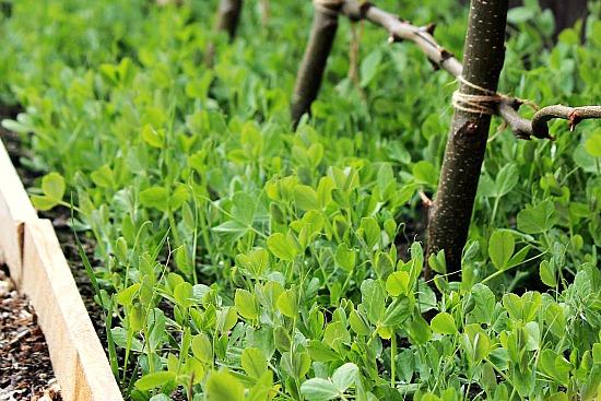 Growing Sugar Snap Peas Trellis Sugar Snap Peas Planting