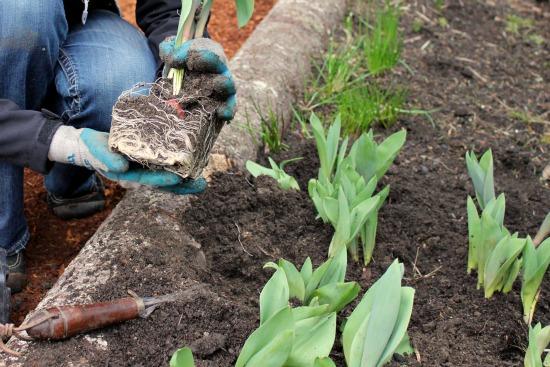 transplanting tulip bulbs