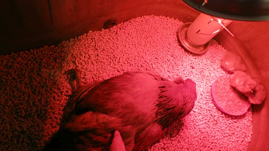 Mavis Needs Your Help – Any Chicken Doctors Out There?