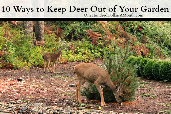 10 Ways to Keep Deer Out of Your Gardenjpg