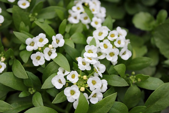 How to Grow Alyssum {Start to Finish}