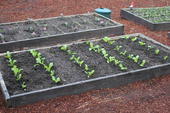 Chinese cabbage raised garden bed