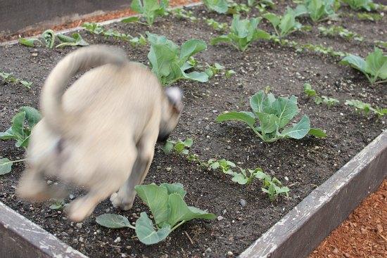 DIY Raised Garden beds Cabbage