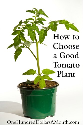 How to Choose a Good Tomato Plant