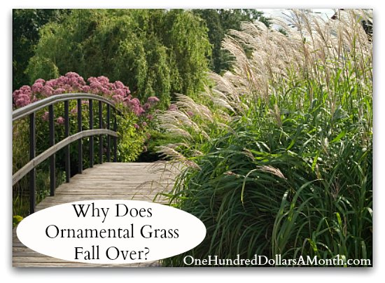 Why Does Ornamental Grass Fall Over?