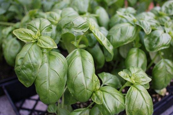 basil leaves organic gardening