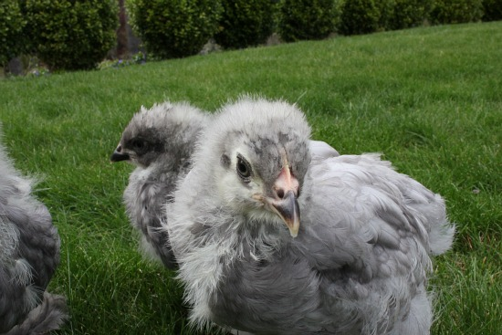 Raising Backyard Chickens – Blue Cochin Chicks