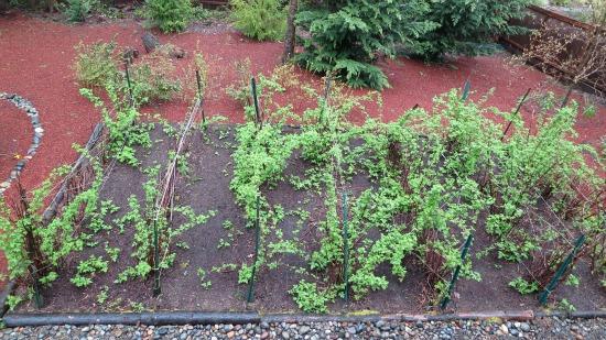 cascadia raspberry canes plants