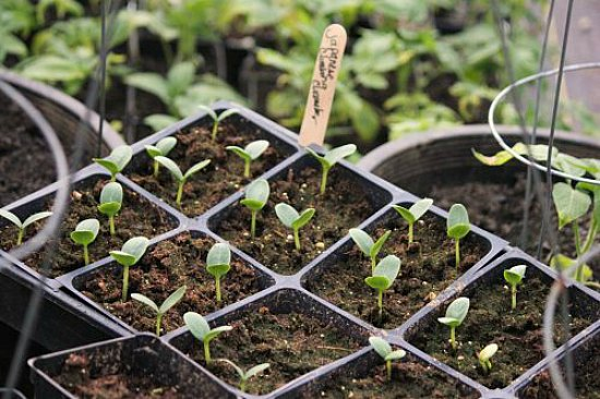 How To Grow Cucumbers Start To Finish