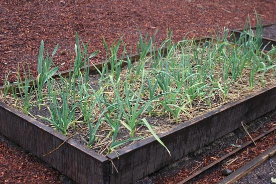 garlic bed in spring