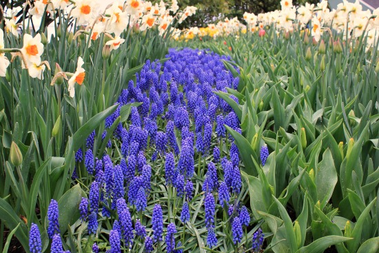 grape hyacinth muscari bulbs