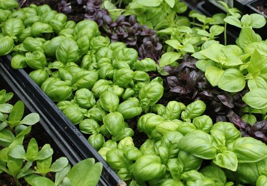 greenhouse basil flats