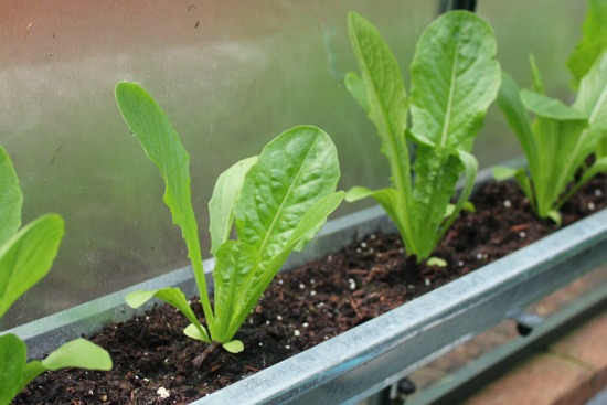 grow garden in gutters lettuce
