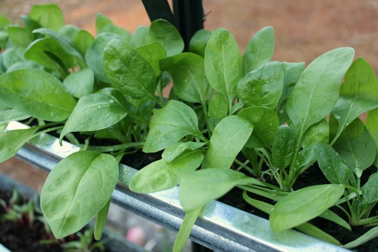 grow spinach in gutters greenhouse