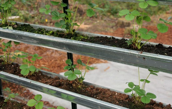 grow strawberries in gutters