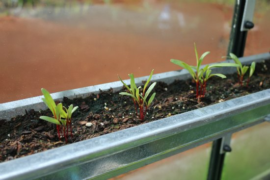 growing food in gutters swiss chard