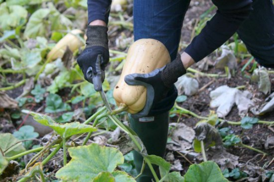 heirloom-butternut-squash