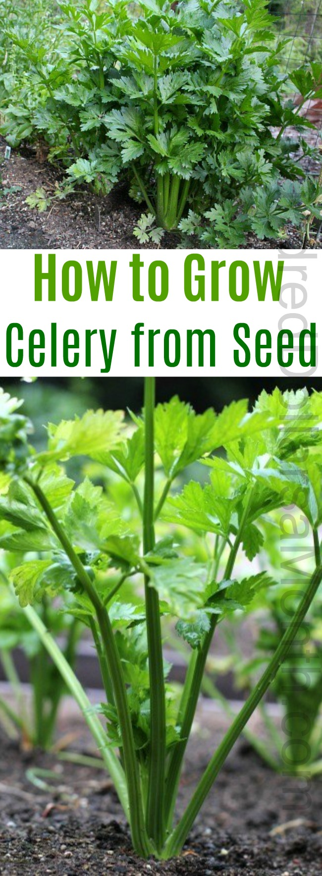 How to Grow Celery {Start to Finish}