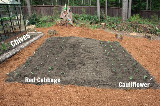 Planting A New Raised Garden Bed Cabbage And Cauliflower