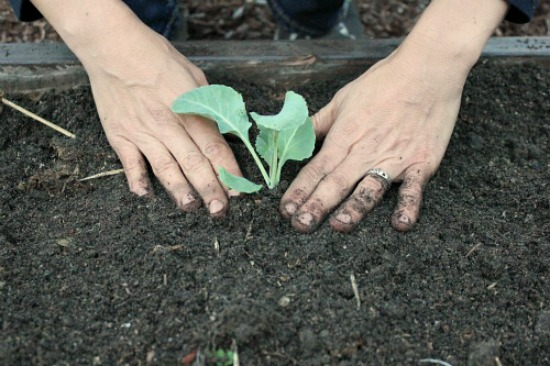 how-to-plant-broccoli-seedlings