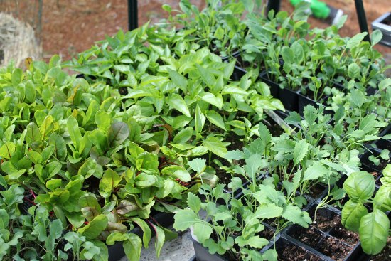 organic vegetables seedlings