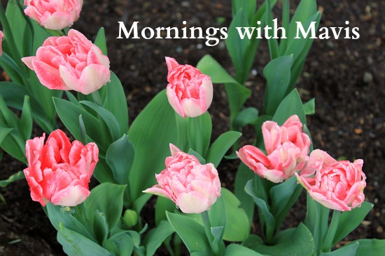 pink double tulips mornings with mavis