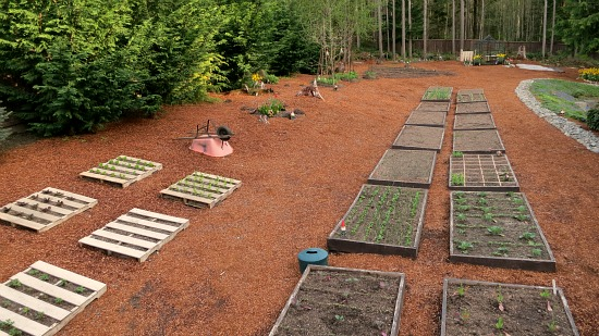 Mavis Butterfield   Backyard Garden Plot Pictures – Week 17 of 52