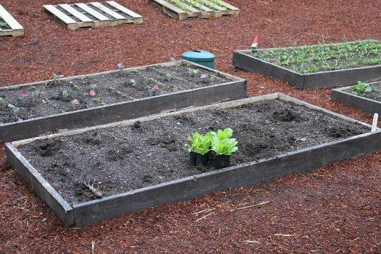 Mavis Garden Blog – Planting Chinese Cabbage
