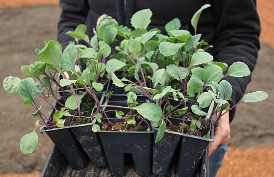 red cabbage seedlings