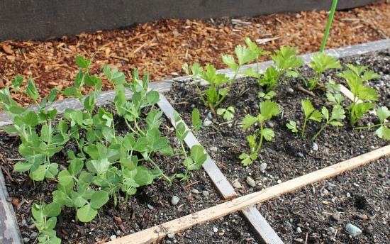 square foot garden peas