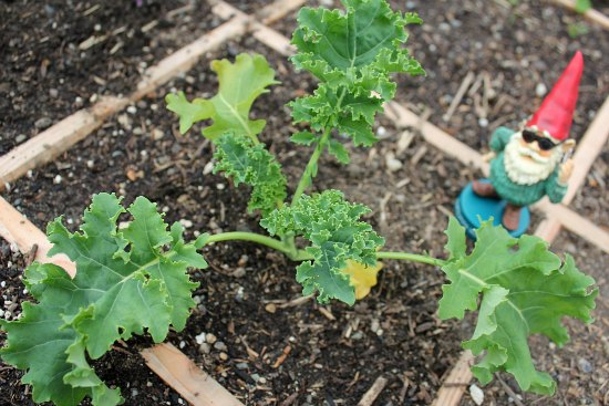 square foot gardening kale
