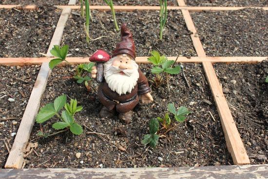 square foot gardening strawberries