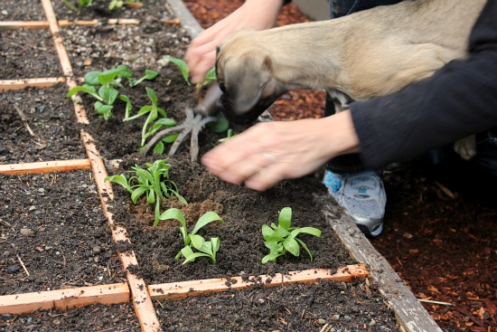 Square Foot Gardening – The Planting Continues