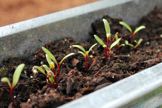 Swiss Chard Vegetable Swiss Chard Seedlings