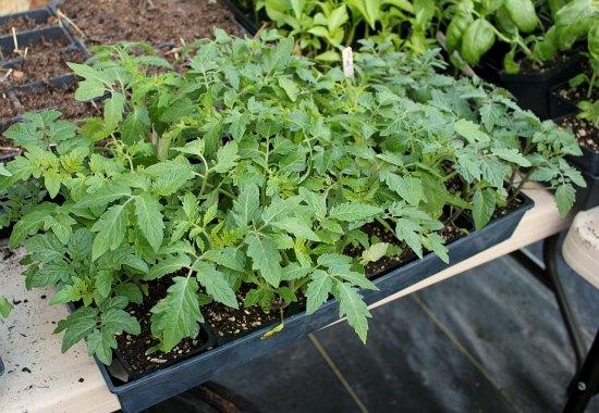tomato plants organic gardening
