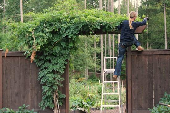 trimming wisteria garden arbor gate